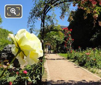 Yellow Rose In Rose Garden Jardin Plantes