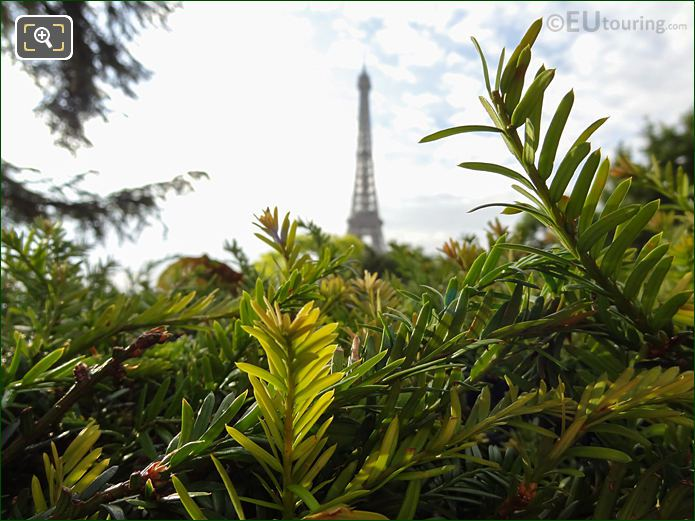Evergreen Hedge Leaves Inside Jardins Du Trocadero