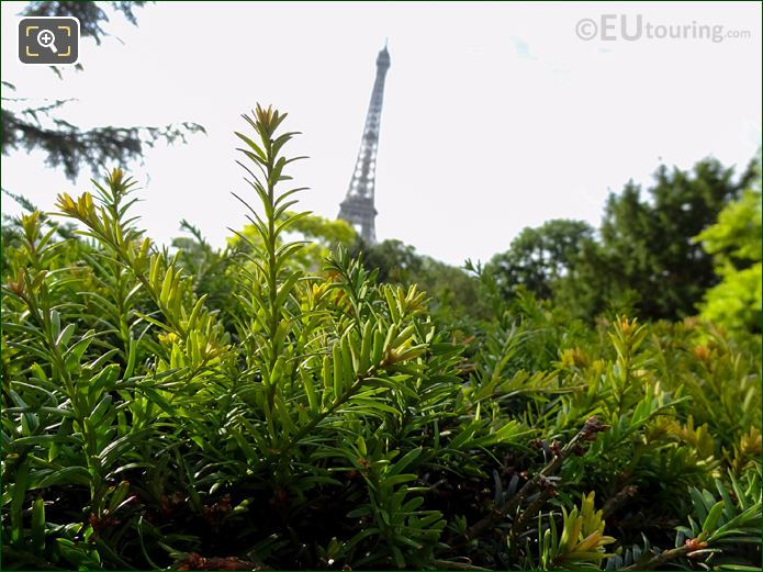 Eiffel Tower Viewed Over Bushes From Jardins Du Trocadero Looking South East