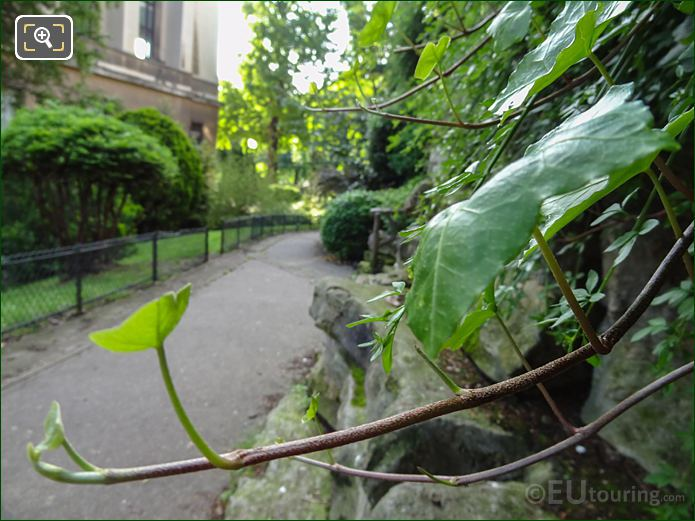 Evergreen Hedera Leaves Inside Jardins Du Trocadero