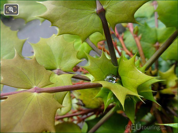 Spiky Leaves On Evergreen Bush Inside Jardins Du Trocadero