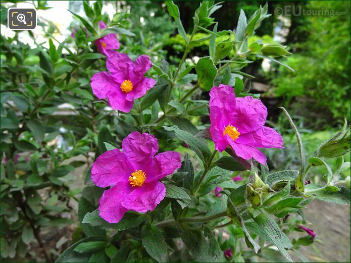 Pink Wild Roses Inside Jardins Du Trocadero