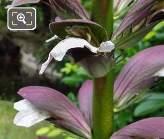 Purple And White Bears Breeches Flowers Inside Jardins Du Trocadero