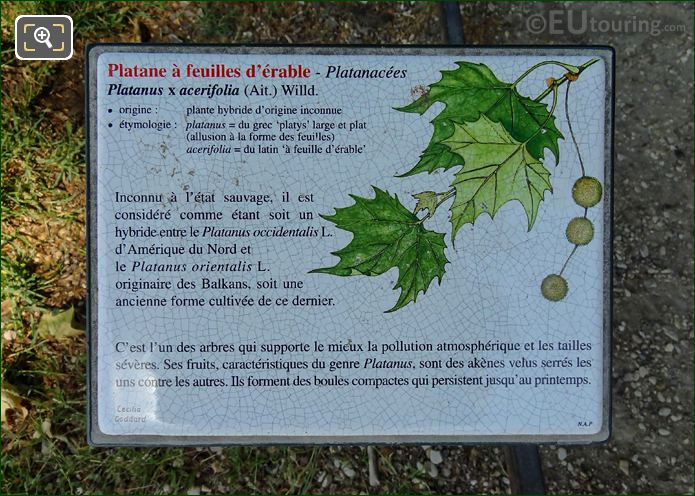 Jardin Du Luxembourg Tourist Info On London Plane Tree