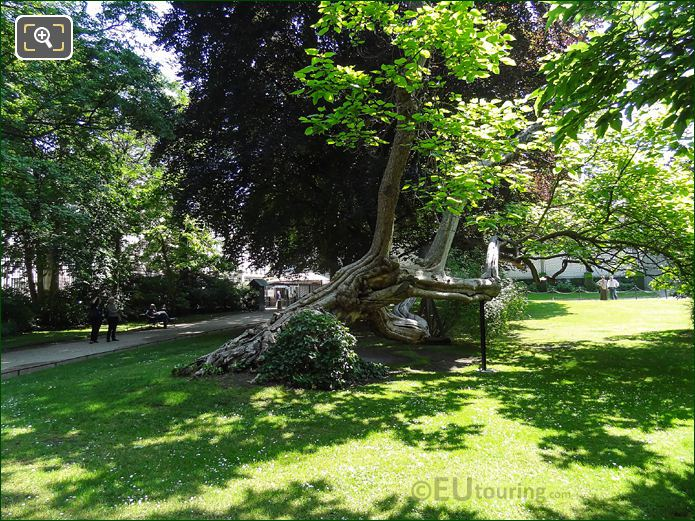 Side View Of Historical Tree And Branches In Luxembourg Gardens