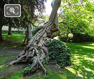 Jardin Du Luxembourg Historical Tree And Root System