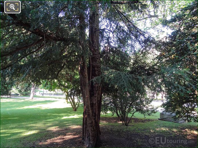 English Yew Tree In Jardin Du Luxembourg