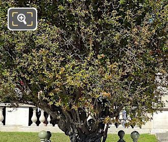 Foliage On Flowering Pomegranate Tree In Jardin Du Luxembourg