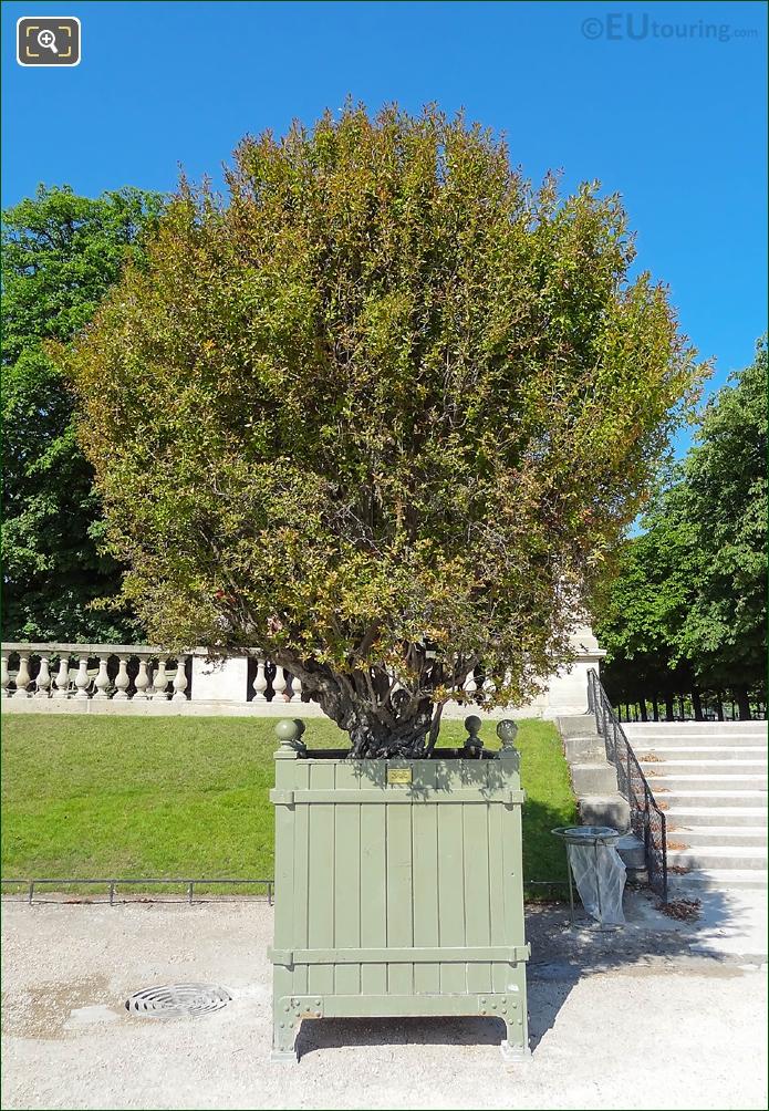 Pot 34 Flowering Pomegranate Tree In Jardin Du Luxembourg