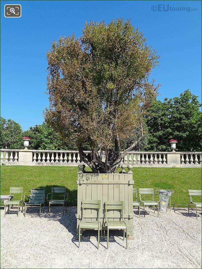Pot 35 Flowering Pomegranate Tree In Jardin Du Luxembourg