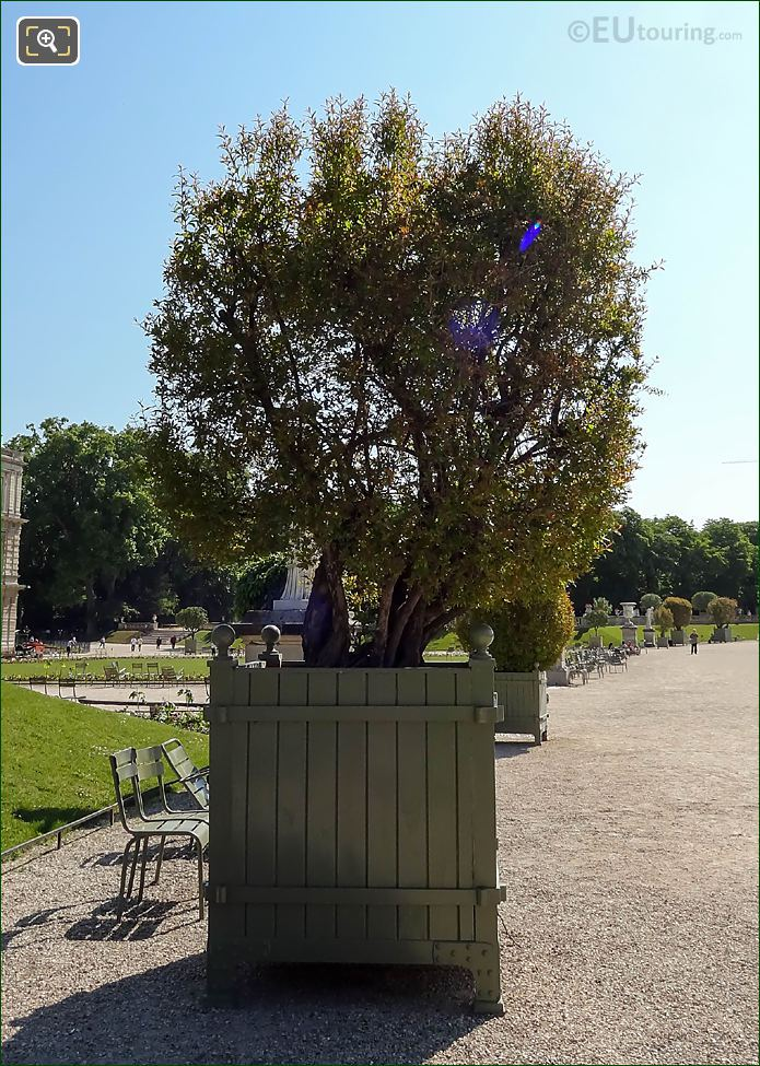 Jardin Du Luxembourg Pot 31 Punica Granatum Flore Pleno Tree