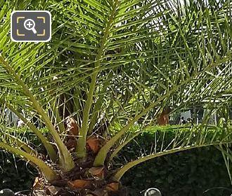 Foliage Date Palm Tree In Jardin Du Luxembourg
