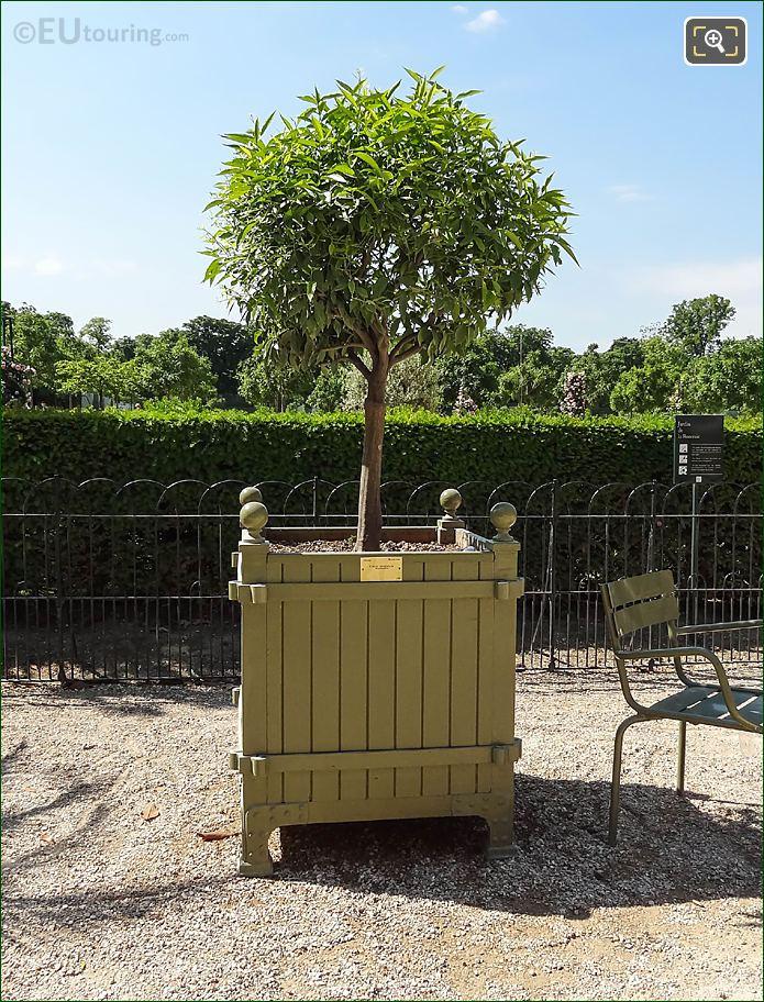 Plant Pot 216 Mandarin Orange Tree Jardin Du Luxembourg