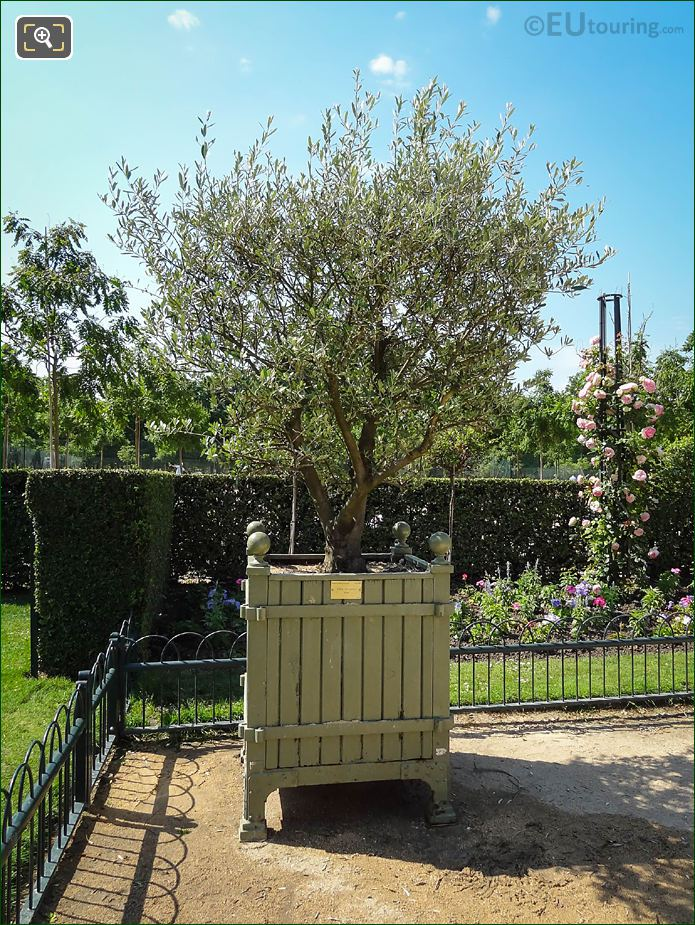 Pot 204 With European Olive Tree Jardin Du Luxembourg