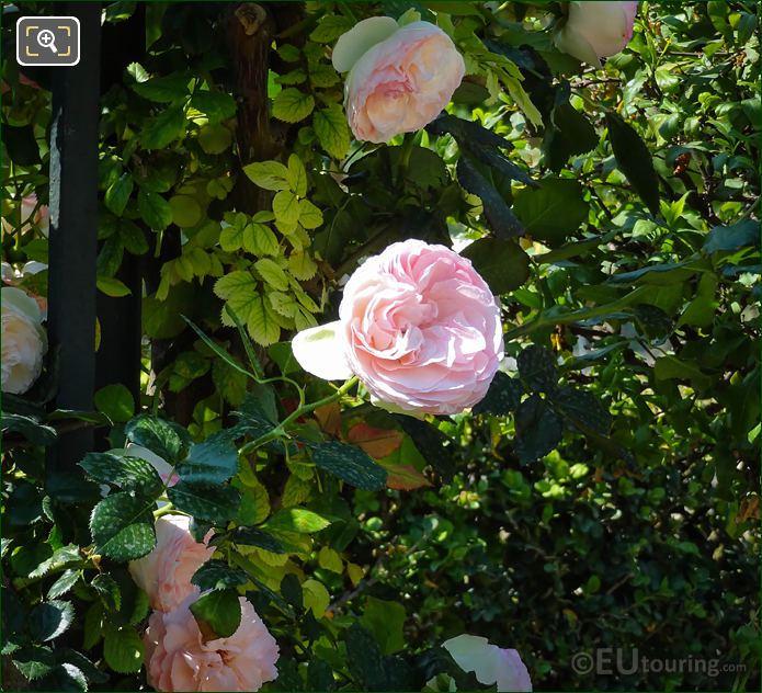 Pink Roses Flowering In Jardin De La Roseraie