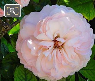 Macro Photo Of Pink Rose In Jardin De La Roseraie Paris
