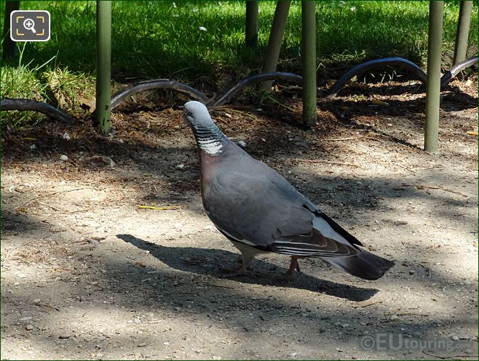 Pigeon In Jardin Du Luxembourg Looking For Food