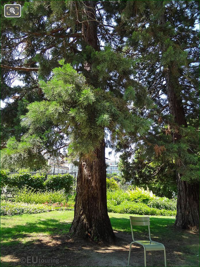 Giant Redwood Tree Jardin Du Luxembourg