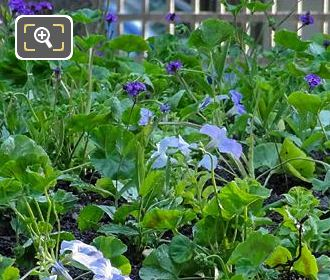 Pale Blue Flowering Petunia In Jardin Du Luxembourg