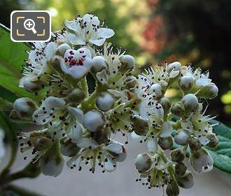 White Flowering Shrub In Jardin Du Luxembourg