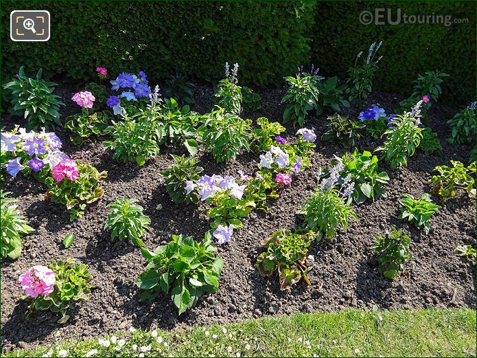 Flowering Blue Sage In Jardin Du Luxembourg