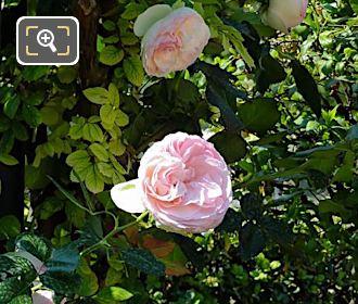 Pink Flowering Bourbon Rose In Jardin Du Luxembourg