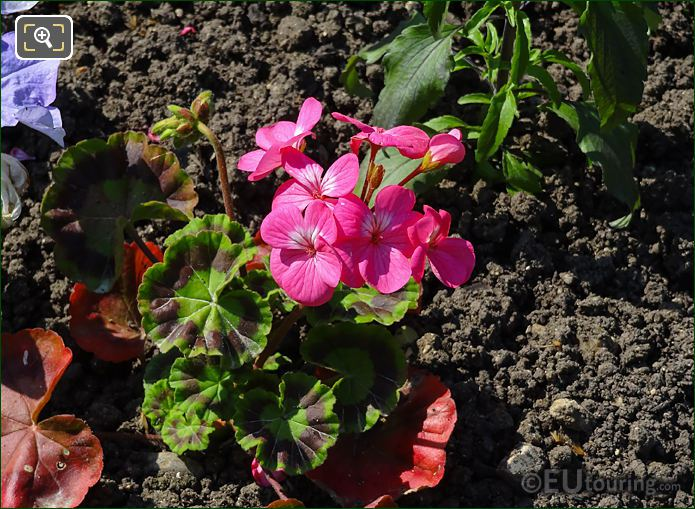 Pink Happy Thought Geranium In Jardin Du Luxembourg