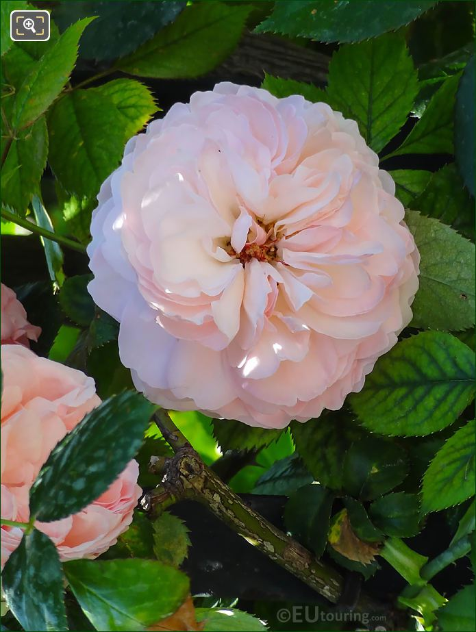 Flowering Pink Rose In Jardin Du Luxembourg