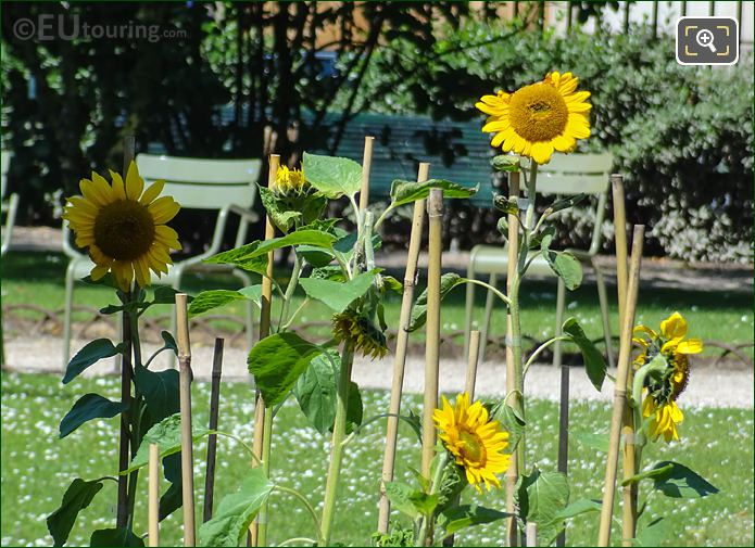 Helianthus Sunflowers In Jardin Du Luxembourg