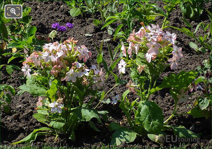 Dusty Pink Trumpet Flowers In Jardin Du Luxembourg
