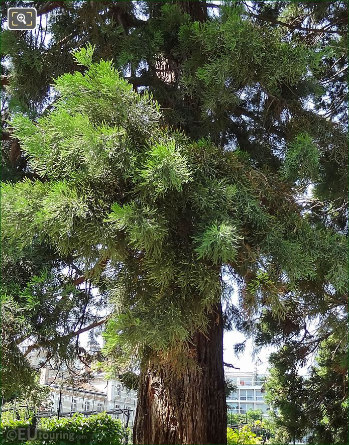Foliage Giant Redwood In Jardin Du Luxembourg