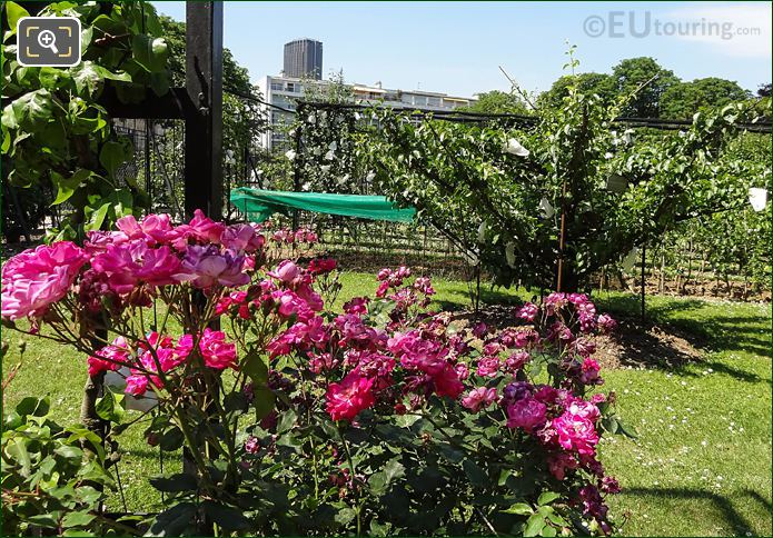 Pink Flowering Shrub In Jardin Du Luxembourg