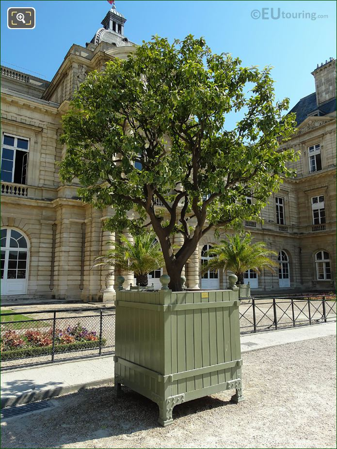 250 Year Old Sweet Orange Tree In Jardin Du Luxembourg