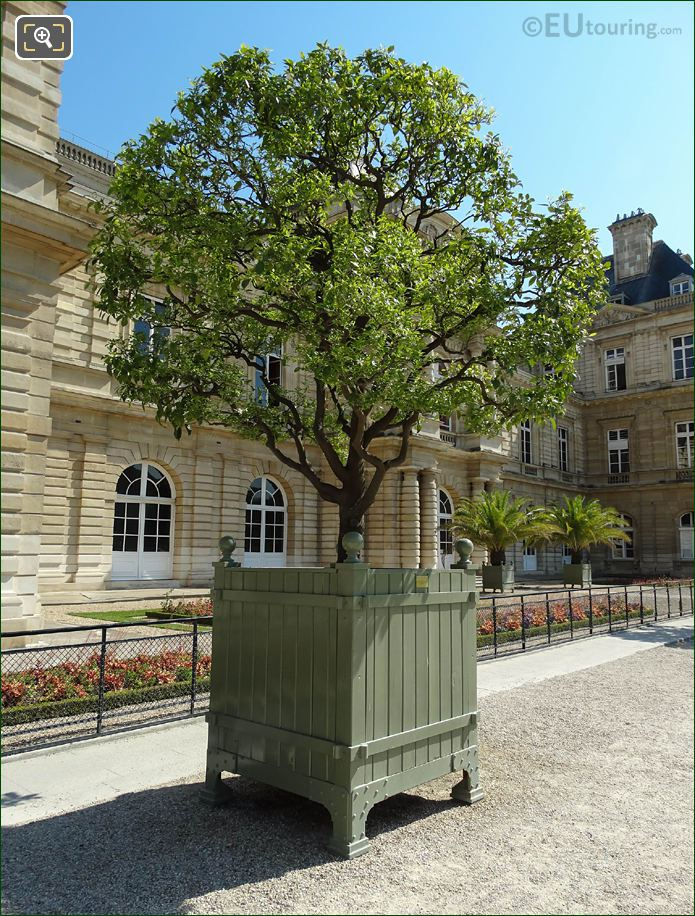 250 Year Bitter Old Orange Tree In Jardin Du Luxembourg