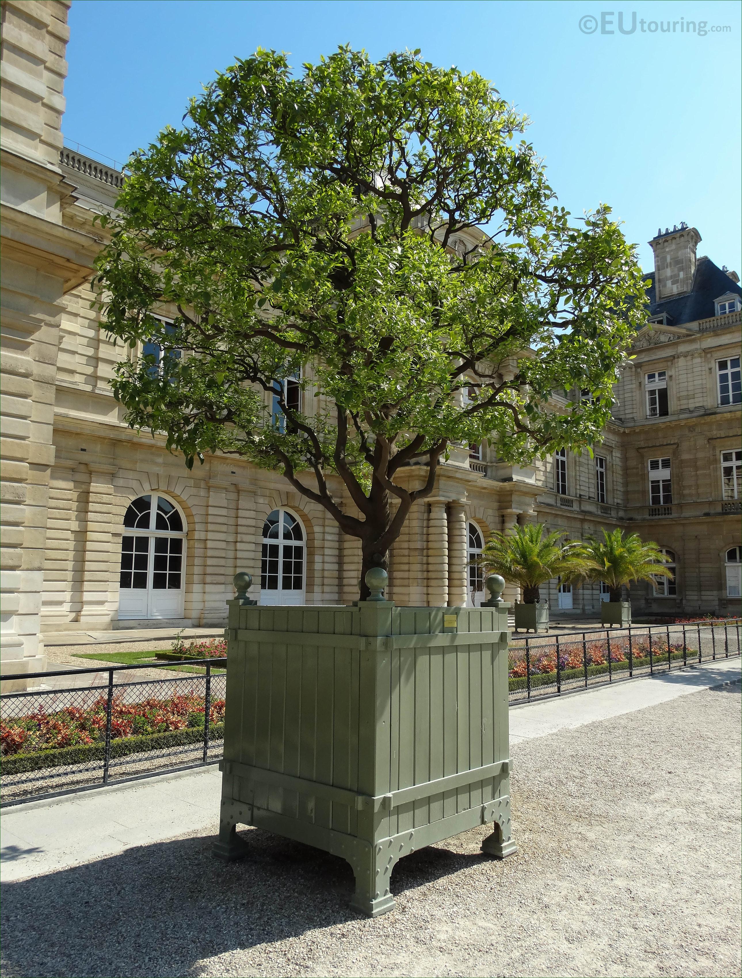 250 year old orange tree inside Jardin du Luxembourg Page 7
