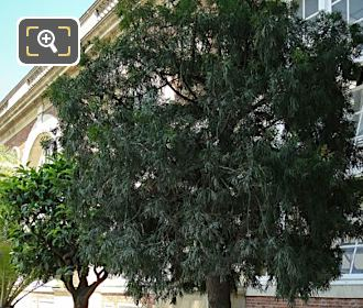 Jardin Du Luxembourg Pot 175 With Podocarpus Elongatus Tree