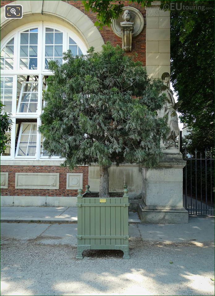 Pot 175 With Breede River Yellowood Tree In Jardin Du Luxembourg