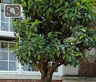 Jardin Du Luxembourg Pot Number 115 With Citrus Aurantium