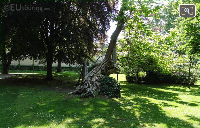 Twisted Historical Tree In Luxembourg Gardens