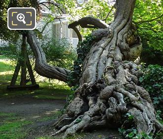 Historical Tree On Its Side In Jardin Du Luxembourg