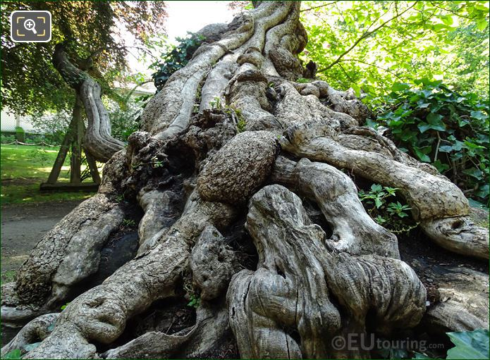 Close Up View Of Root System Of Historical Tree