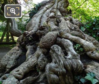 Historical Tree In Jardin Du Luxembourg