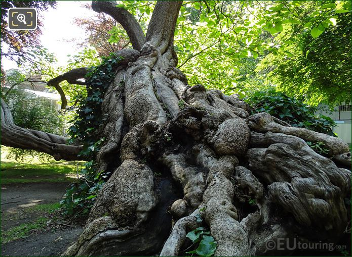Historical Tree In Jardin Du Luxembourg