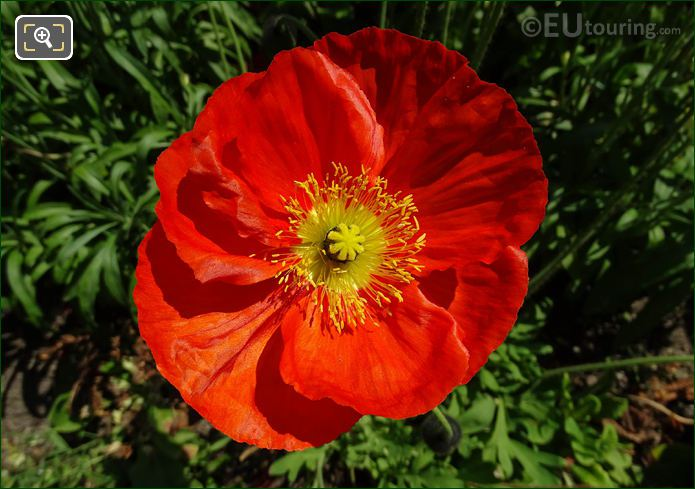 Macro Of Papaver Nudicaule Or Iceland Poppy In Jardin Du Luxembourg