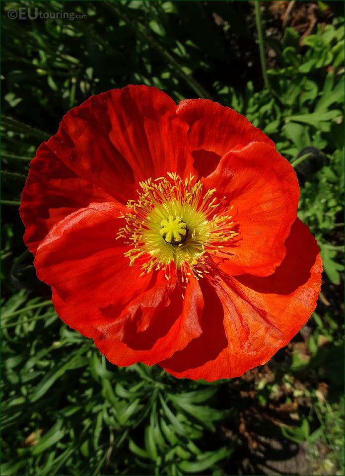 Macro Of Red Iceland Poppy In Luxembourg Gardens