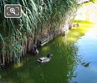 Mallard Ducks Parc De Bercy