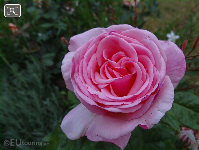 Marco Photo Pink Rose 8th Arrondissement Paris