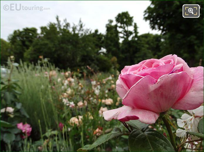 Pink Roses 8th Arrondissement Paris