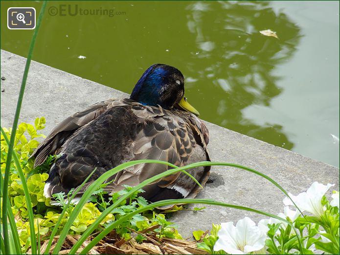 Mallard Duck Inside Jardin Des Tuileries Looking South East