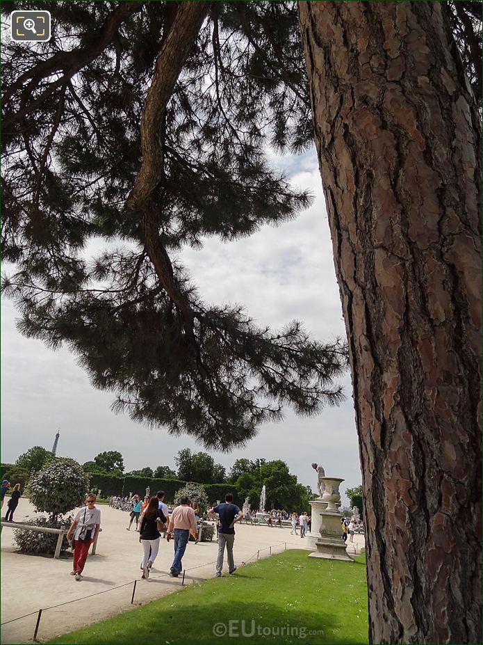 Tuileries Demi-lune Reserve Nord Pin De Corse Tree